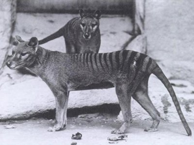tigre tasmania Foto: Time